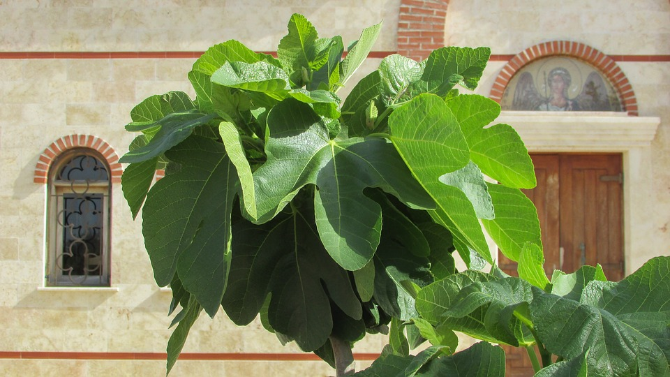 Cluster of live fig leaves.